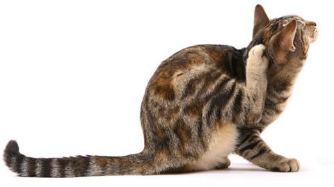 アトピカ猫用 アトピーで皮膚が痒い猫に