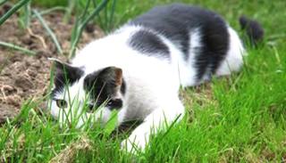 猫 野外で遊ぶ!寄生虫駆除薬「ドロンタール猫用」通販